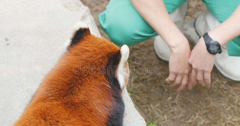 Ocean Park, Hong Kong, 09 December 2017:- Adorable Red panda playing trainer stock image