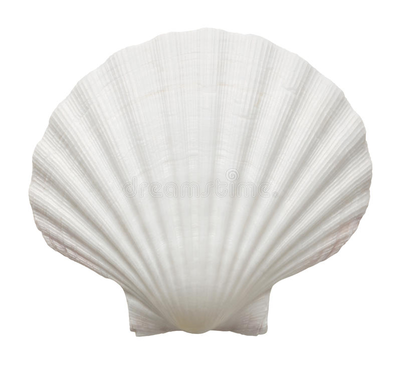 Ocean shell. Close up of ocean shell isolated on white background