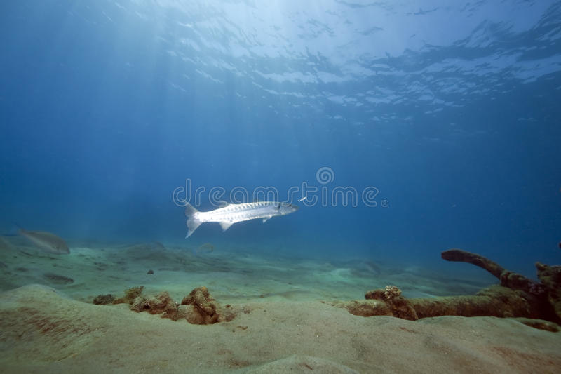 Ocean, sun and great barracuda stock photo