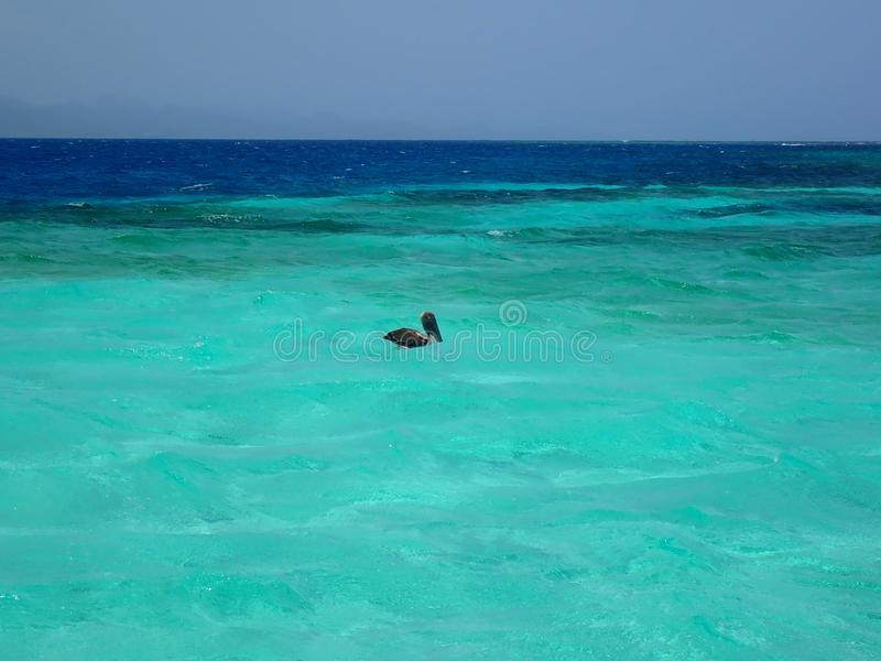 Ocean water with a gray pelican resting in waves. Shallow ocean water with a gray pelican resting in waves stock photos