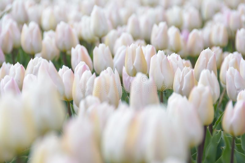 An Ocean of White. Endless tulipfields c 2017 Martijnvandernat.nl all rights reserved royalty free stock photography