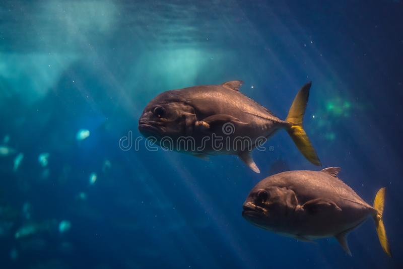 Oceanarium in Lisbon. Horse-eye jack fishes swimming in the water stock image