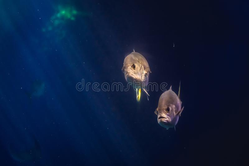 Oceanarium in Lisbon. Horse-eye jack fishes swimming in the water royalty free stock images