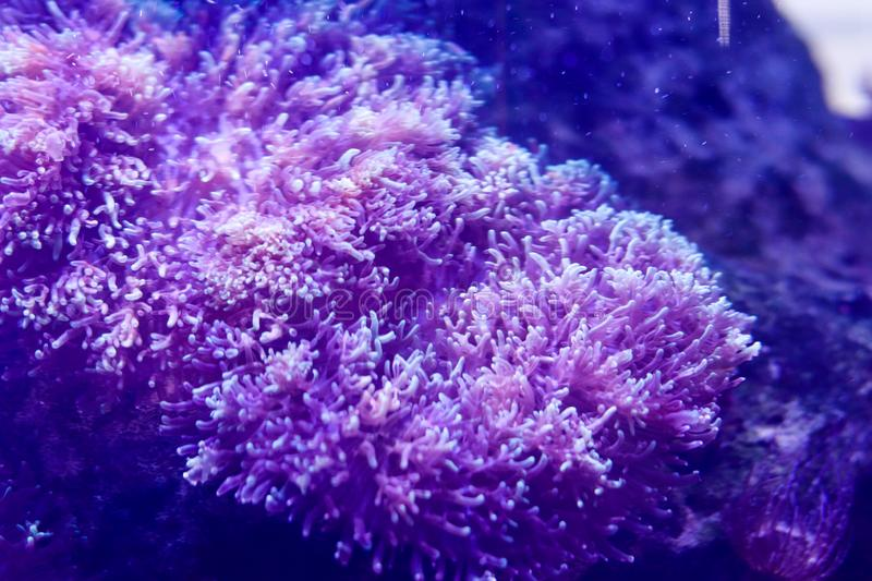 Oceanic flora. Underwater life. Plants at the bottom of the ocean. Corals under artificial lighting. Free space for text stock images