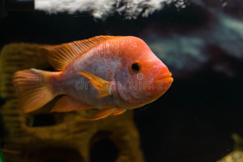 Oceanic vissen in het aquarium stock afbeeldingen