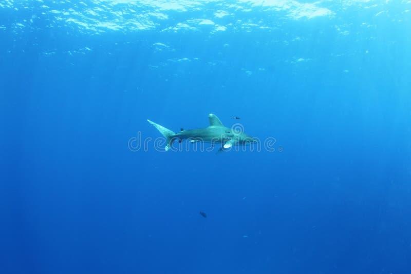 Download Oceanic White Tip Shark (Carcharinus Longimanus) Stock Photo - Image: 26104354