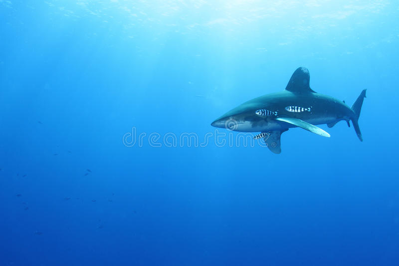 Download Oceanic White Tip Shark (Carcharinus Longimanus) Stock Photo - Image: 26104370