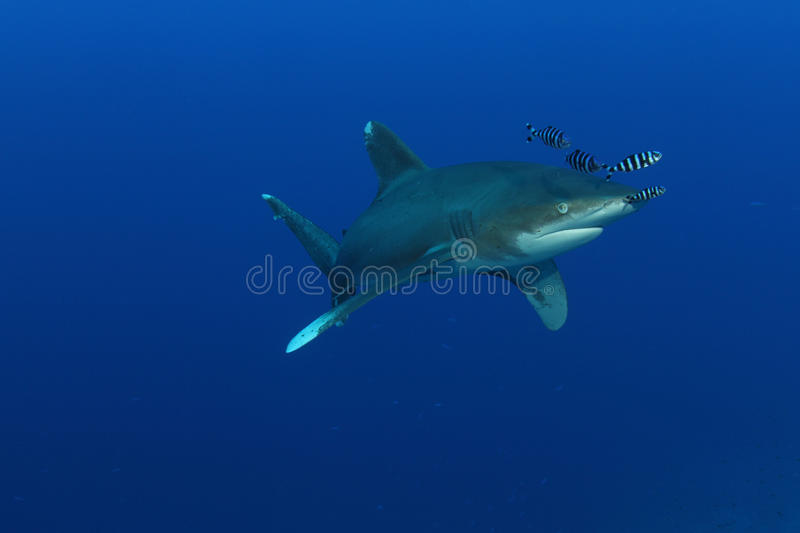 Oceanic White Tip shark (Carcharinus longimanus). In the Red Sea. These large predators come very close to investigate divers royalty free stock photo