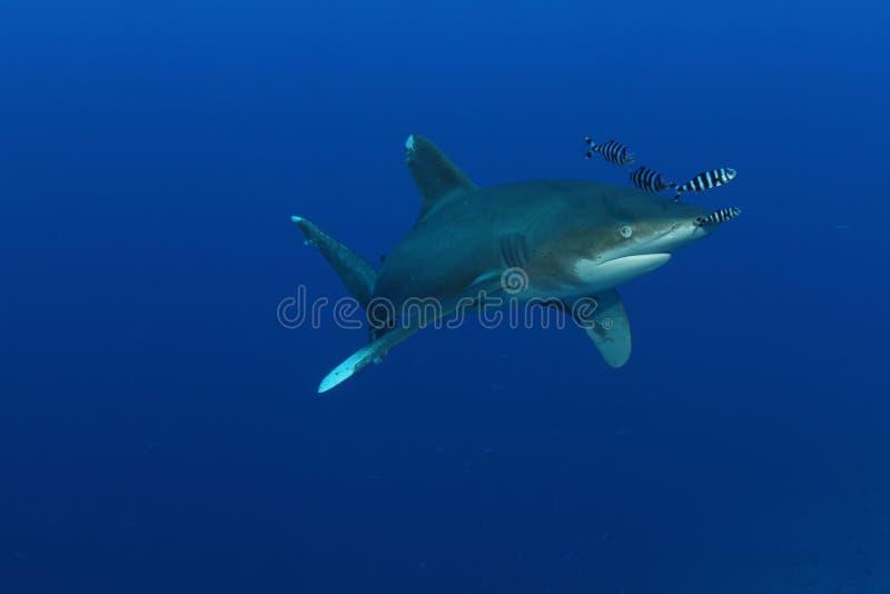 Download Oceanic White Tip Shark (Carcharinus Longimanus) Stock Image - Image: 26104385