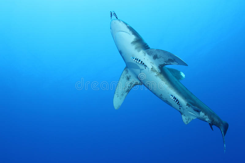 Oceanic White Tip shark (Carcharinus longimanus). In the Red Sea. These large predators come very close to investigate divers stock images