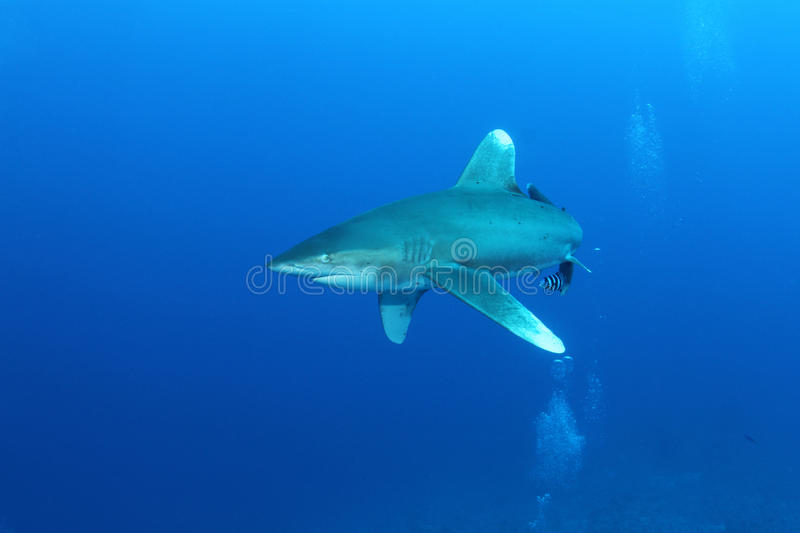 Oceanic White Tip shark (Carcharinus longimanus). In the Red Sea. These large predators come very close to investigate divers stock image