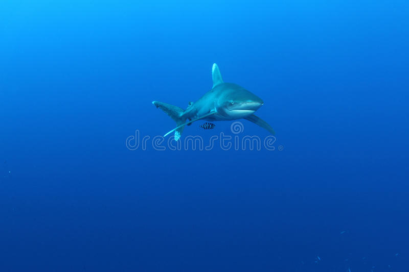 Oceanic White Tip shark (Carcharinus longimanus). In the Red Sea. These large predators come very close to investigate divers stock photos