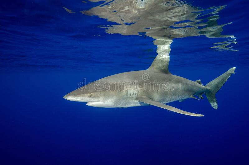 An Oceanic White Tip Shark and Its Reflections in the Bahamas royalty free stock photos