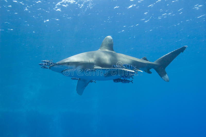 Download Oceanic White-tip Shark In The Sea Stock Image - Image: 25404531