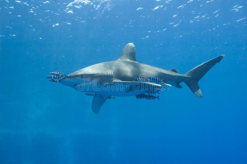 Oceanic wit-uiteindehaai in het overzees stock afbeelding