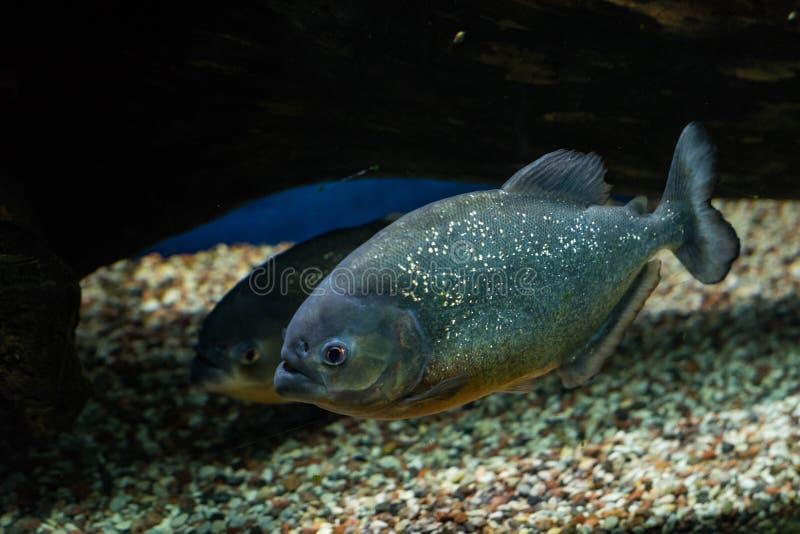 Oceaniczna ryba w akwarium zdjęcie stock
