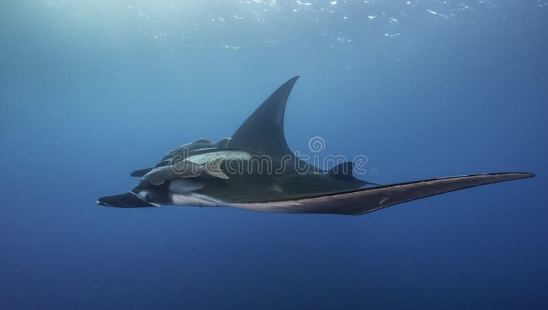 Oceaniczne manty Ray Podwodny zdjęcie stock