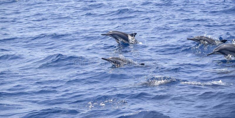 Oceaniska delfin fotografering för bildbyråer