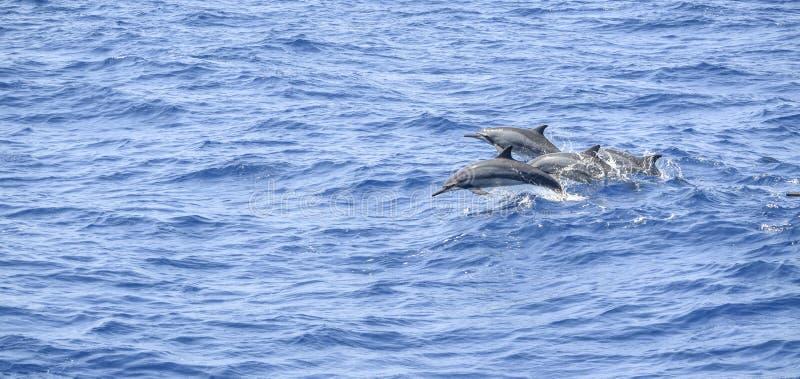 Oceaniska delfin arkivfoto