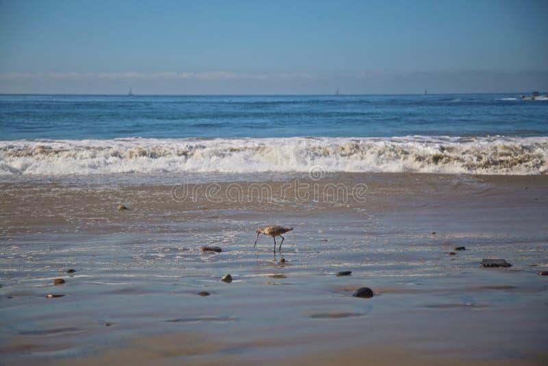Oceano do pássaro do borrelho imagem de stock royalty free
