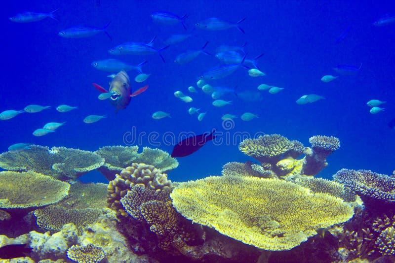 Oceano Indiano. Pesci nei thrickets dei coralli fotografie stock