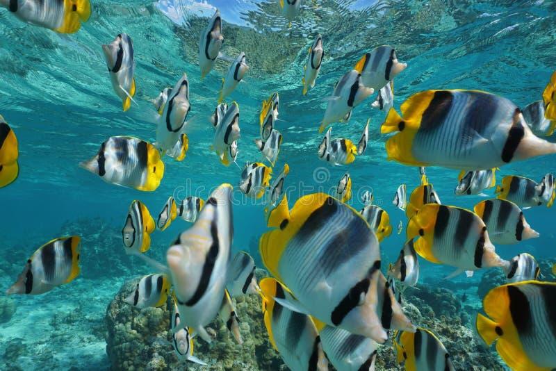 Oceano Pacifico di pesce angelo del banco di pesci immagini stock