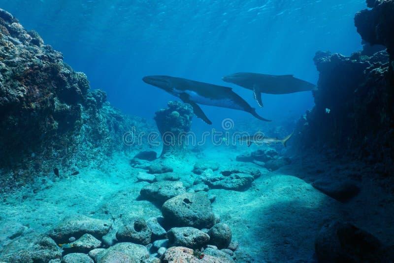 Oceano Pacifico subacqueo delle balene di vista sul mare immagini stock libere da diritti