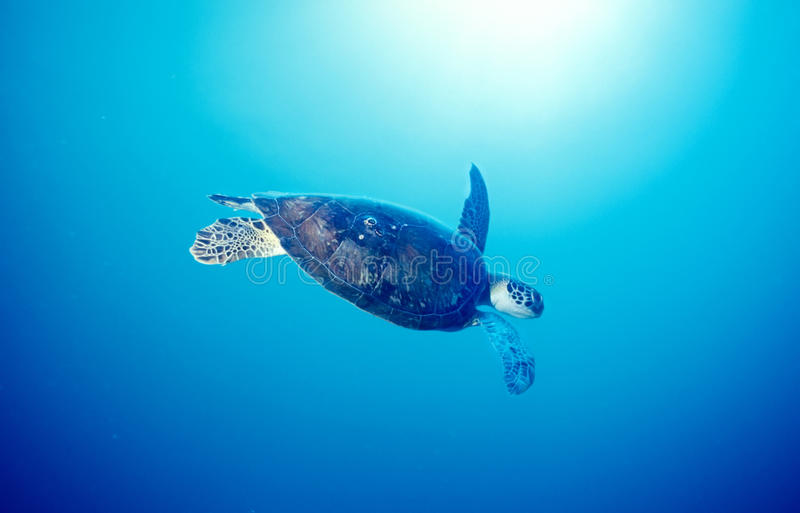 oceanu żółw zdjęcia royalty free