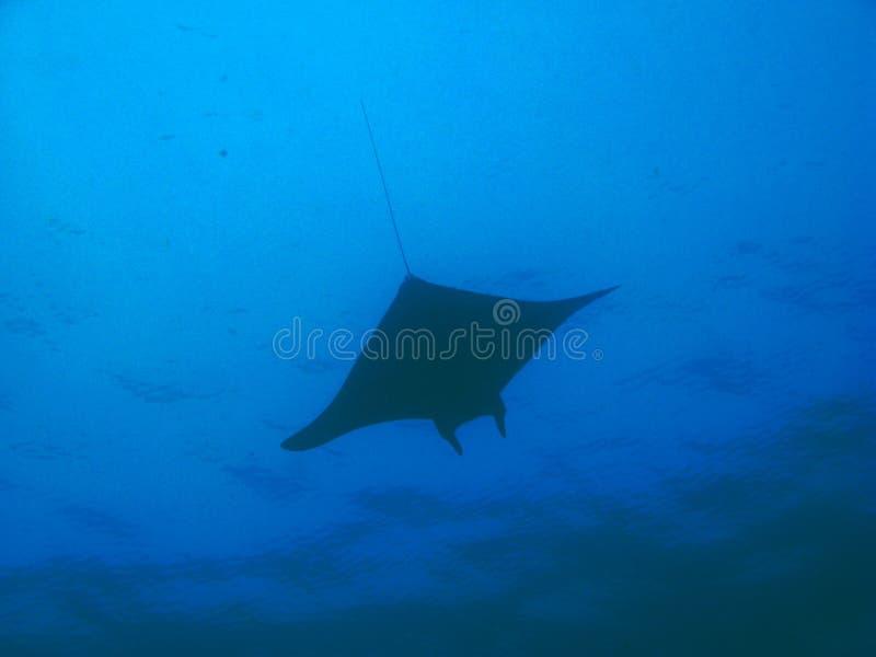 oceanu stingray dopłynięcie zdjęcie royalty free