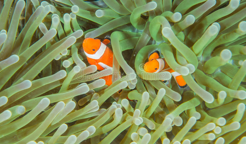 Ocellaris Clownfish royalty free stock photos