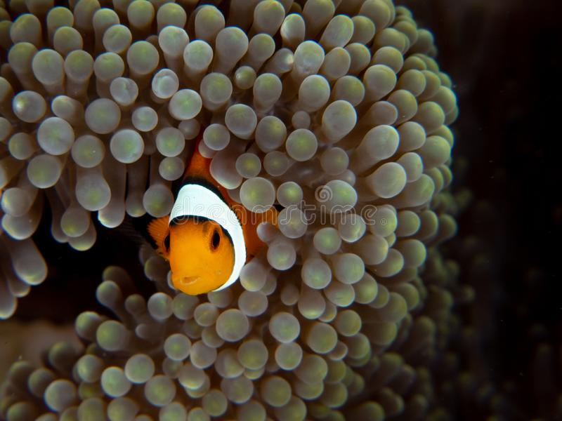 Ocellaris clownfish, Amphiprion ocellaris Bangka, Indonezja obraz royalty free