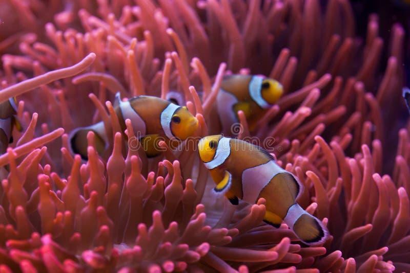 Ocellaris clownfish (Amphiprion ocellaris) zdjęcie stock
