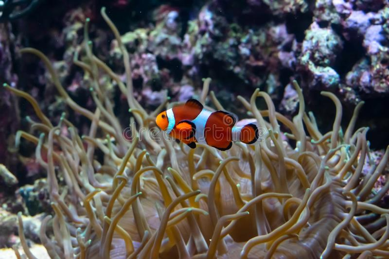Ocellaris clownfish Amphiprion ocellaris, also known as the false percula clownfish or common clownfish is swimming underwater. stock image
