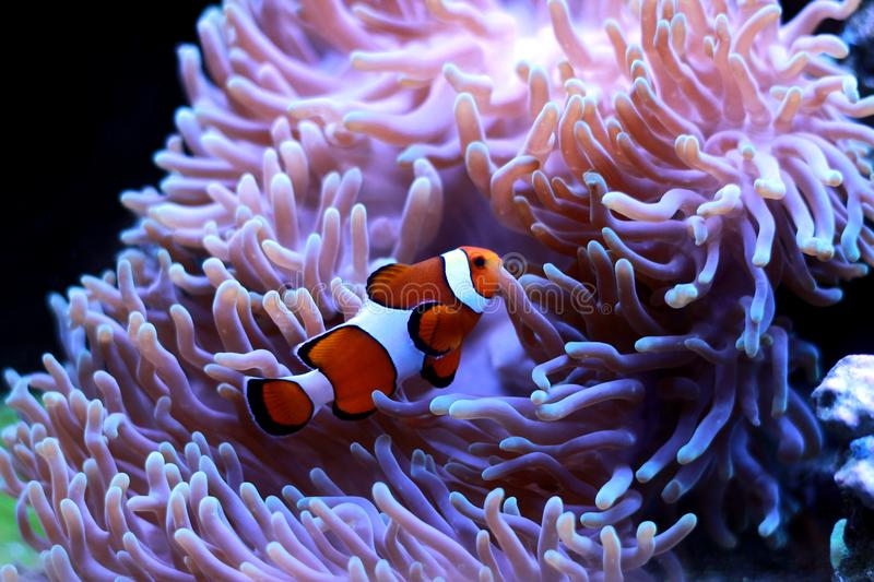 Ocellaris Clownfish - Amphiprion ocellaris. The Ocellaris Clownfish is one of the most popular marine fishes. Its beautiful orange body dressed with white bands royalty free stock image
