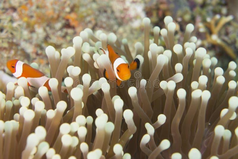 Ocellaris Clownfish del Amphiprion immagini stock libere da diritti