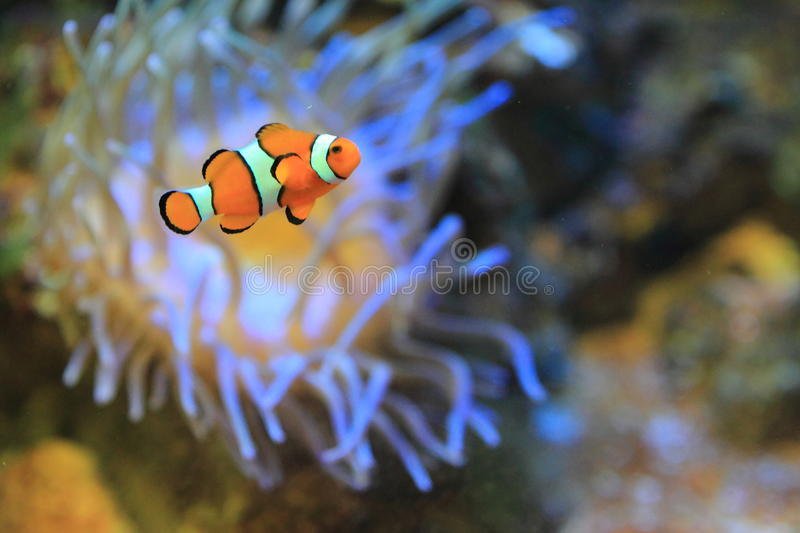 Ocellaris clownfish royalty-vrije stock foto's