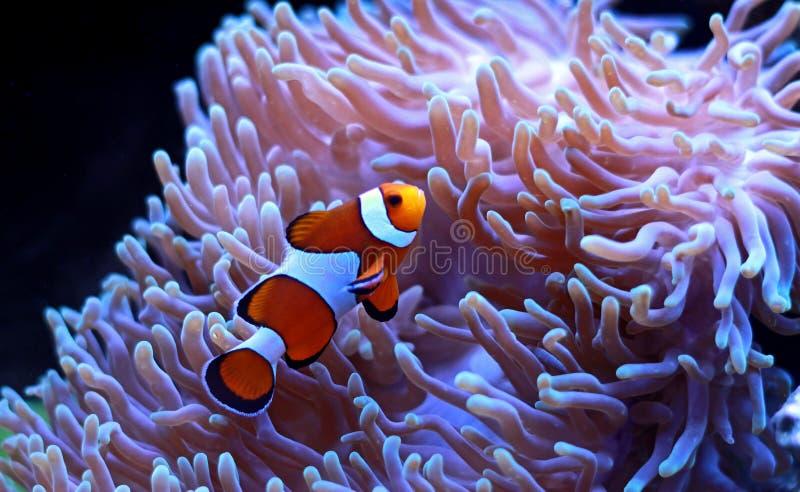 Ocellaris Clownfish - Amphiprion ocellaris royalty free stock photo