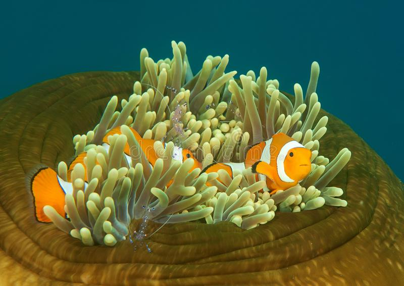 Ocellaris clownfish and tosa commensal shrimp on anemone of Bali stock photos