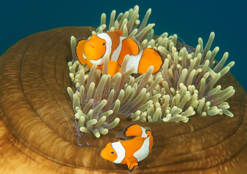 Ocellaris-clownfish und tosa mitessende Garnele auf Anemone von Bali stockfotos