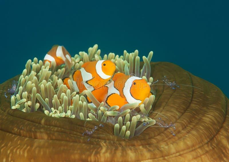 Ocellaris-clownfish und tosa mitessende Garnele auf Anemone von Bali stockbilder
