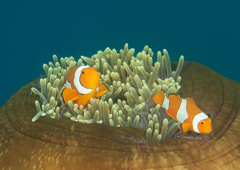 Ocellaris-clownfish und tosa mitessende Garnele auf Anemone von Bali stockfoto