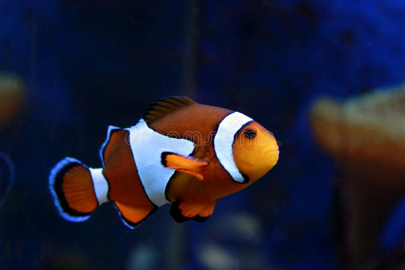 Ocellaris Clownfish van Amphiprion stock foto's