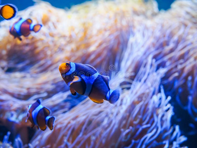 Ocellaris Clownfishes con fondo di corallo fotografia stock libera da diritti