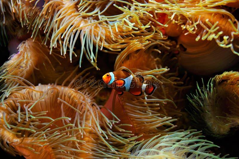 Ocellaris di Fish Amphiprion del pagliaccio e anemoni di mare come fondo, anche conosciuto come il Ocellaris Clownfish, Percula f immagine stock