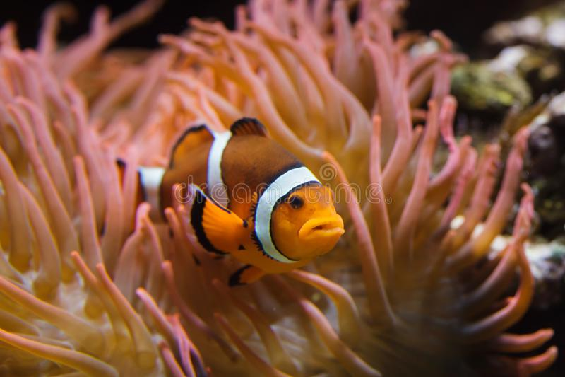 Ocellaris do Amphiprion de Ocellaris Clownfish fotografia de stock