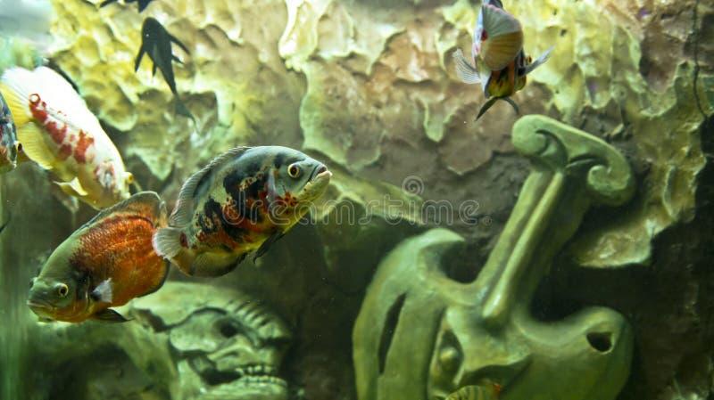 Download Ocellatus astronotus στοκ εικόνες. εικόνα από ζωή, υποβρύχιος - 17058144