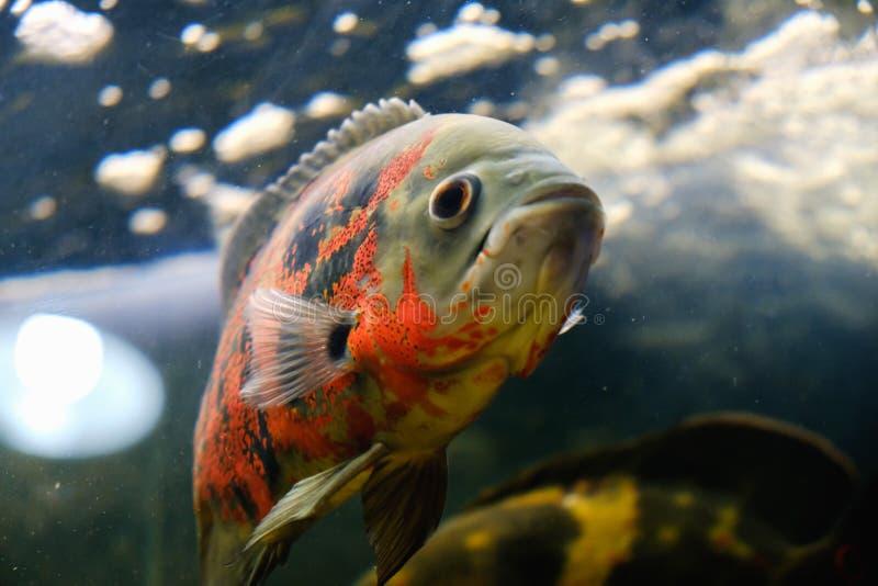 Ocellatus de Astronotus de los pescados de Óscar que nada bajo el agua imagenes de archivo
