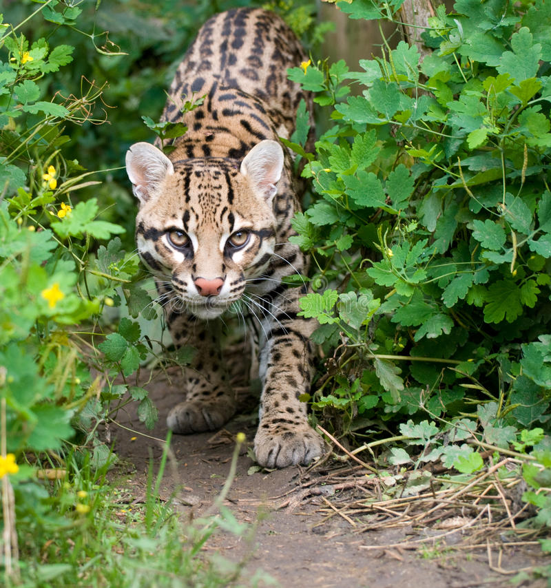 Ocelot de vagabondage photo stock