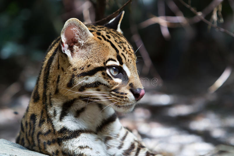 Ocelot, royalty free stock images