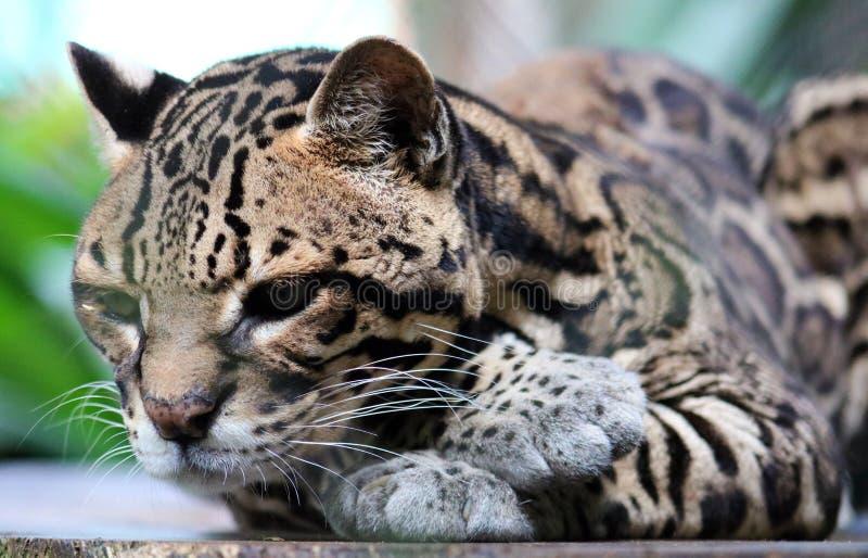 Ocelote salvaje del gato en el animal hermoso de Costa Rica imagenes de archivo